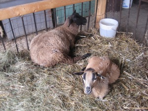 hid-sheep