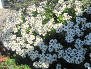 meade-daisies (2)